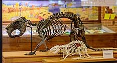 Photo: Giant Beaver Skeleton at the Joseph Moore Museum