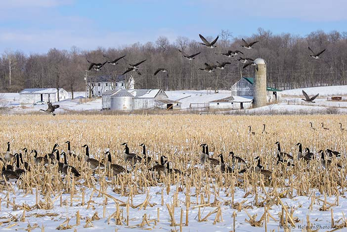 Canada Geese Flock to Wayne County